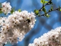 dc_cherryblossoms_bees-0891_800w-2