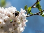 dc_cherryblossoms_bees-0896_800w-2