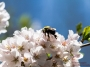 dc_cherryblossoms_bees-0898_800w-2