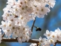dc_cherryblossoms_bees-0908_800w-2