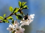 dc_cherryblossoms_bees-0930_800w-2