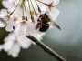 dc_cherryblossoms_bees-0984_800w-2
